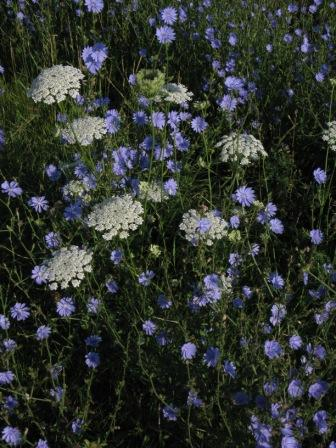 Queen Anne's lace & chicory, Ogle Co., July 2010