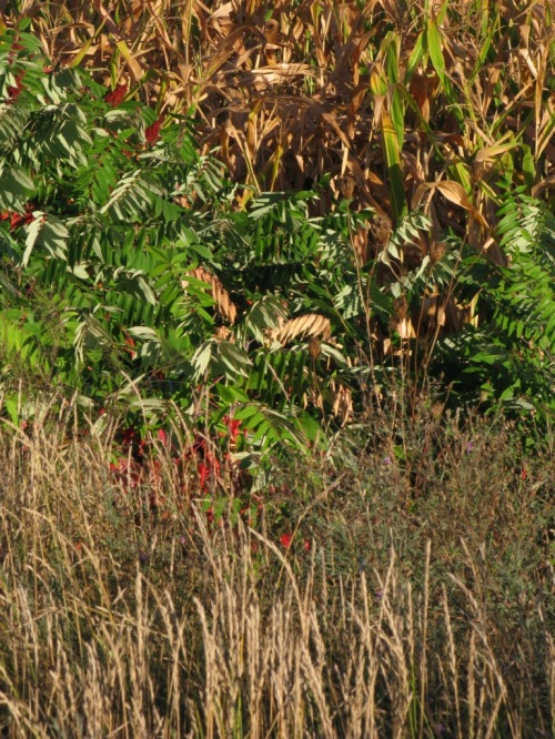 Sumac, grasses, maize