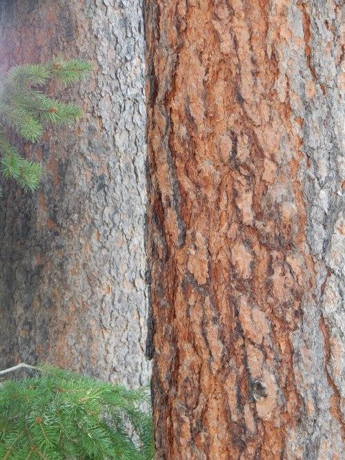 Rocky Mountain trees.