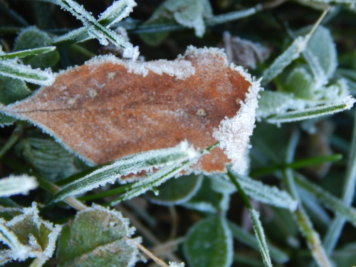 Frosty leaf, 8 Nov. 2015