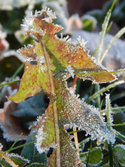 Frosty dandelion leaf, 8 Nov. 2015