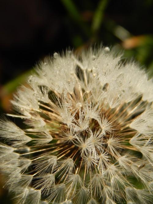 Frosty dandelion seedhead, 8 Nov.