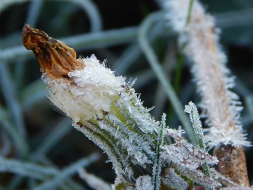 Frosty dandelion bloom, closed. 8 Nov.