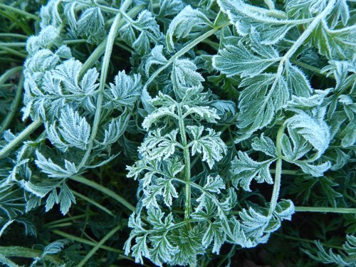 Frosty, curly carrot leaves. 8 Nov.