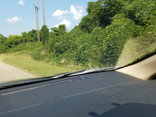 I believe this is kudzu outgrowing and covering other vegetation along the roadside.