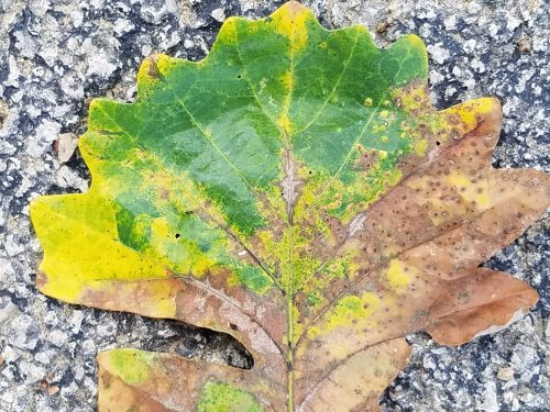 Oak leaf, south of bridge. 25 Sept.
