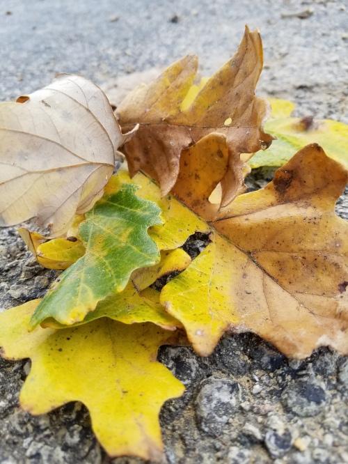 Oak leaf bunch, south of bridge, 25 Sept.