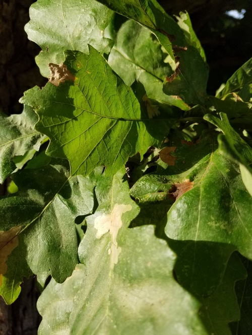 Oak leaves. 14 Sept.