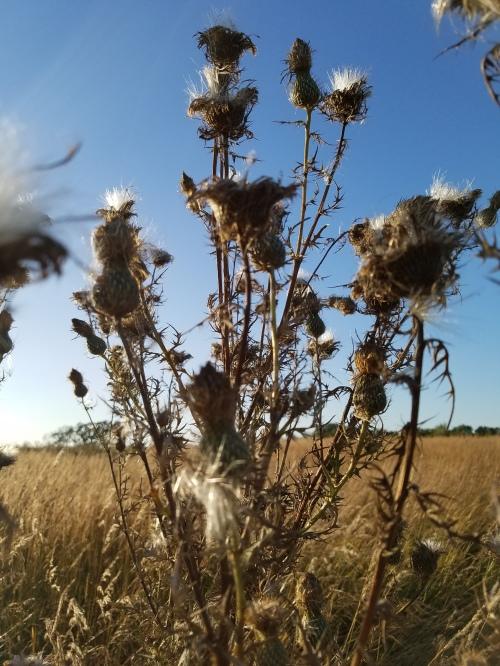 Prairie thistle. 26 Sept.