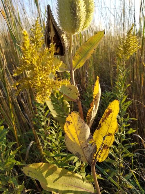 Milkweed, goldenrod. 28 Sept.