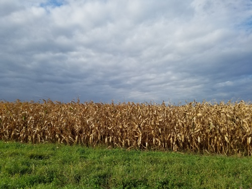 Bands of corn, grass, sky. 29 Sept.