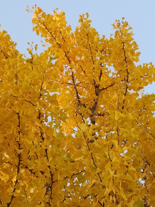 Ginko tree, 4 Nov. 2016