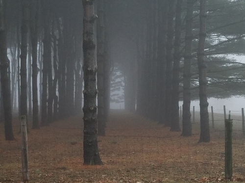 Spooky pine plantation. 20 Jan.