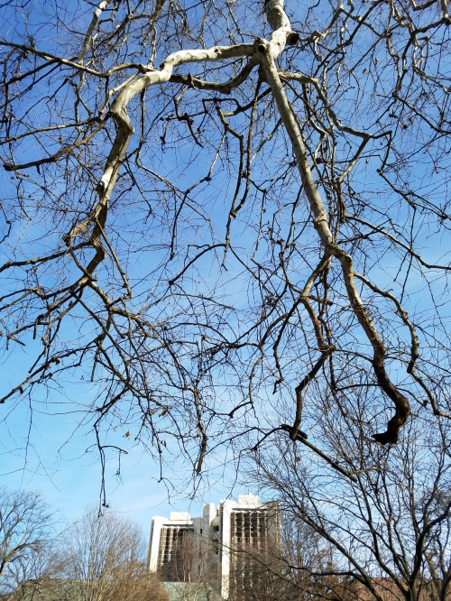 Sycamore tree over Watterson Hall, Normal, Ill. 14 Feb.